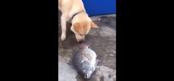 Благородная собака, спасающая жизнь рыбе. Видео