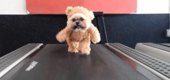 Хит интернета: «Плюшевый» собако-медведь гуляет по беговой дорожке. Видео