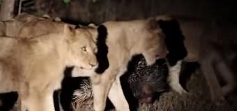 Дикобраз против 17 голодных львиц: зверек оказался не в то время не в том месте. Видео