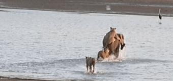 Более 5 млн просмотров за 2 дня: слоненку удалось спастись от 14 львов. Видео