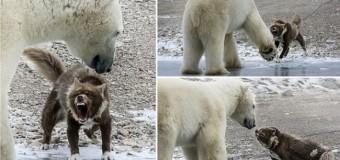 Собака против белого медведя. Фото