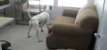 Собака смешно гоняется за лазером, закрепленным на ее ошейнике. Видео