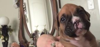 Милые подвывания щенка боксера, учащегося выть, «взорвали» интернет. Видео