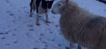 Овца Пэт убеждена, что она собака колли, а не овца. Видео