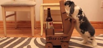 Толстый кролик возит пиво своему хозяину. Видео