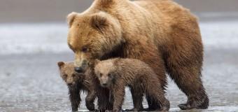 Фотограф снял, как обнимаются медведи. Фото