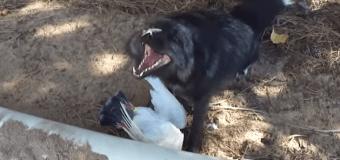 Зловещий смех лисы над добычей поразил пользователей сети. Видео