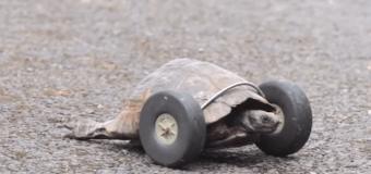 Черепахе поставили протезы на колесиках. Видео