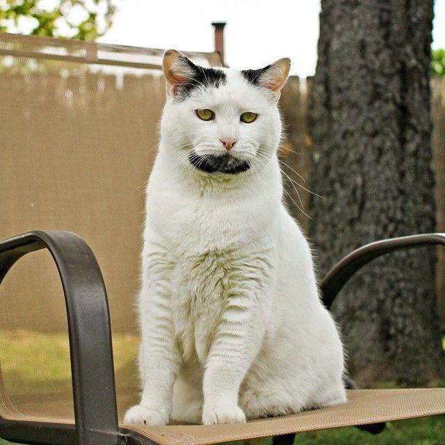 Кот бородач
