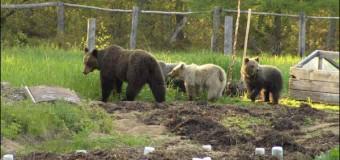 Хит сети: в России на огороде медведи собирают картошку. Видео