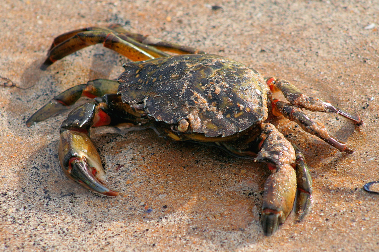 Carcinus maenas  definition of Carcinus maenas by The