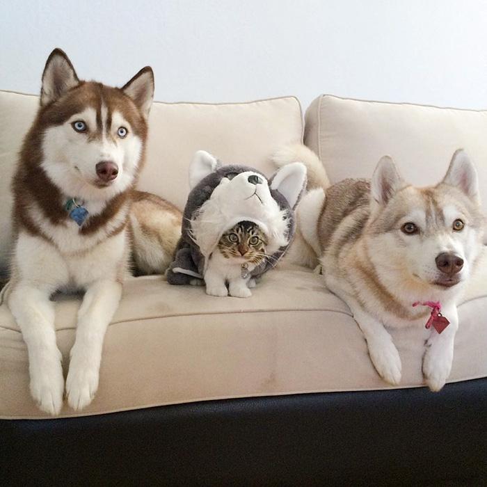 Три хаски и кот