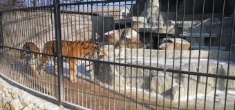 Запорожские тигры озвучили корейский фильм. Фото