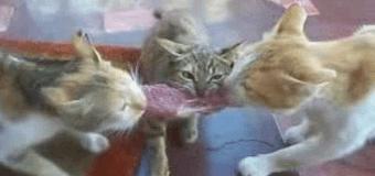 Кошки смешно поделили кусок мяса. Видео