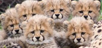 Веселые малыши гепарда покорили сеть. Фото