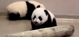 Хит сети: детеныши панды делают первые шаги. Видео