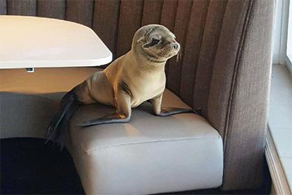 Морской львенок решил пообедать в ресторане. Видео
