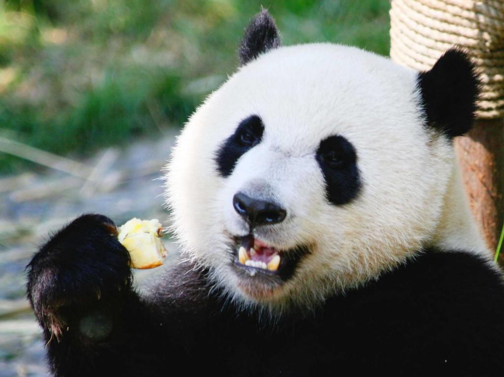 Смешны картинки про панд, сайты картинками хорошего