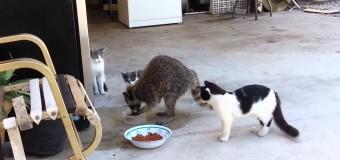 Енот атаковал кошачью миску с едой. Видео