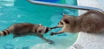 Заботливый енот помогает брату выбраться из бассейна. Видео
