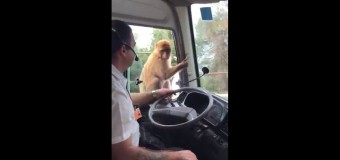 Хит сети: обезьяна украла еду у водителя автобуса. Видео