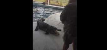 Во Флориде в бассейн американки залез трехметровый аллигатор. Видео