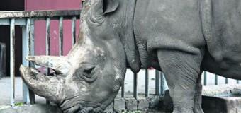 В киевском зоопарке спасают носорога-долгожителя