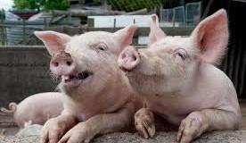 В ДНР незаконно перевозили свиней. Фото