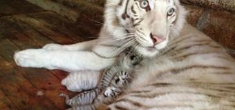 Знаменитая Тигрюля стала мамой