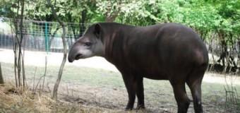 Ровенский зоопарк похвастался новым питомцем — тапиром. Фото
