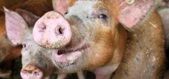 На Сумщине свиней поразила африканская чума