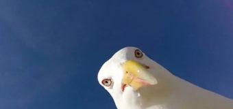 В Англии чайка-воровка украла iPhone. Видео