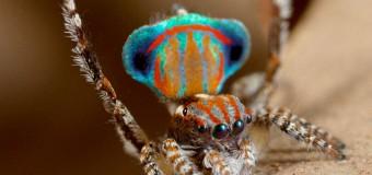 Ученые из Сиднея открыли семь новых видов танцующих пауков-павлинов