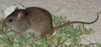 Из-за изменения климата в Австралии вымерли крысы