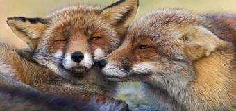 Пользователей сети покорили эмоциональные лисички из Нидерландов. Фото