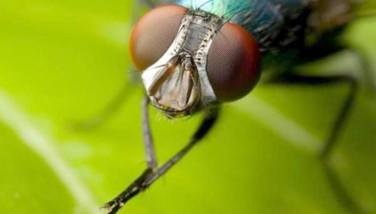 В России готовятся есть мух