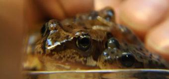 Зоологи обнаружили странных лягушек. Фото