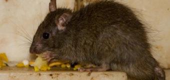 Крыса на прилавке шокировала людей в супермаркете. Видео