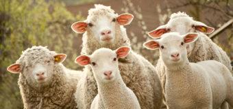 Курьез: глупая овца застряла в заборе. Фото