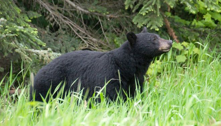 Канадский боксер подрался с медведицей