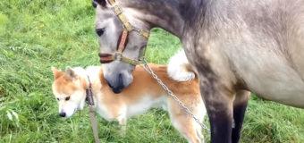 Счастливая встреча лошади и собаки «взорвала» сеть. Видео