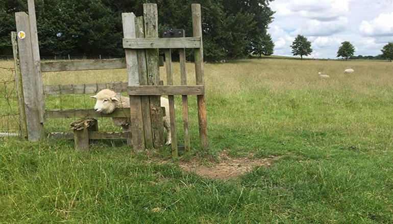 кот и овца фото