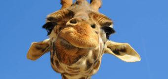 Срочно: жираф Жонглер сбежал из одесского зоопарка. Фото