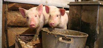 Из-за африканской чумы у свиней страдают украинцы