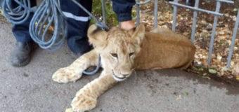 В Уфе на улице заметили одинокого льва. Фото