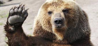 Стая медведей поселилась на российской свалке. Видео