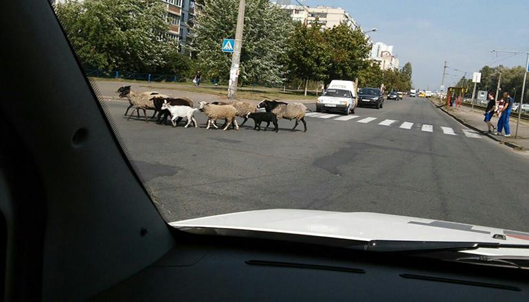 По Киеву гуляет стадо овец и коз. Фото