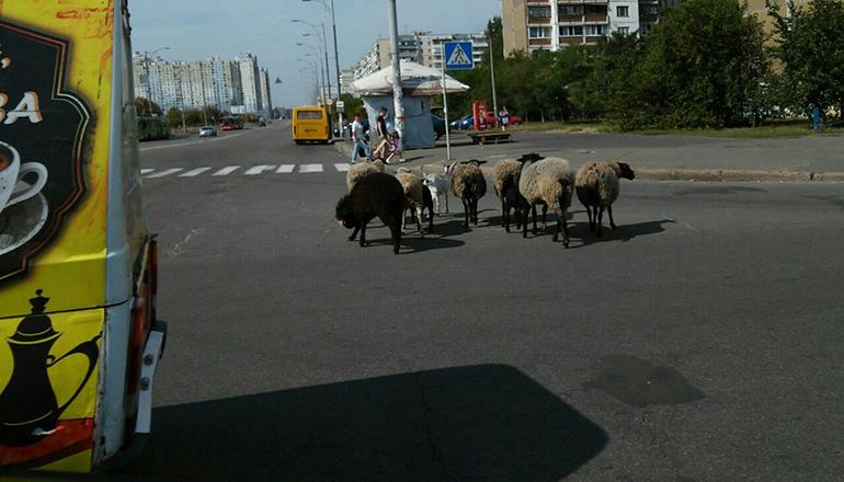 Овцы и козы в Киеве