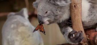 Более 4,5 млн просмотров: бабочка «испортила» коале фотосъемку. Видео