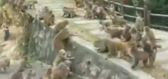 На глазах у туристов два больших клана обезьян устроили массовую драку. Видео